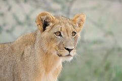 De welp van de leeuw in Kalahari 2 Royalty-vrije Stock Afbeeldingen