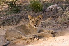 De welp van de leeuw in Kgalagadi royalty-vrije stock afbeelding