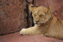 De Welp van de leeuw met Gesloten Ogen Royalty-vrije Stock Afbeelding