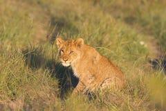 De welp van de leeuw op weg stock afbeeldingen