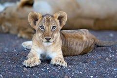De welp van de leeuw in rivierbed Stock Afbeelding