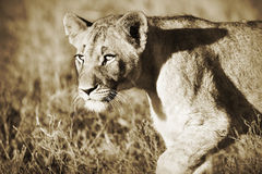 De welp van de leeuw in sepia royalty-vrije stock afbeeldingen
