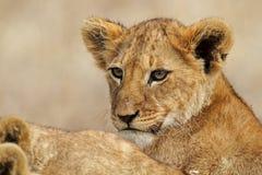 De welp van de leeuw, Serengeti Stock Afbeeldingen
