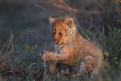 De welp van de leeuw, Serengeti Stock Afbeelding