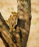 De Welp van de Leeuw van Serengetti royalty-vrije stock afbeeldingen