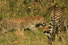 De welp van de luipaard stock fotografie