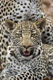 De welp van de luipaard Stock Foto's