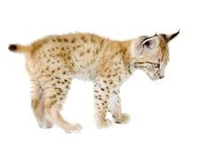 De welp van de lynx (2 mounths) Stock Fotografie