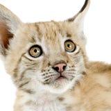 De welp van de lynx (2 mounths) Royalty-vrije Stock Afbeeldingen