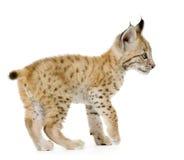 De welp van de lynx (2 mounths) Royalty-vrije Stock Afbeelding