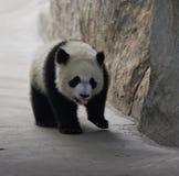 De Welp van de panda Stock Afbeelding