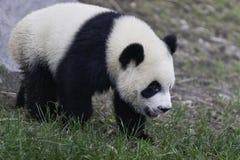De Welp van de panda Stock Foto