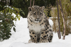 De Welp van de sneeuwluipaard op Sneeuw met Bomen Royalty-vrije Stock Foto's