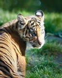 De welp van de tijger stock foto's