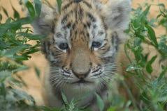 De welp van de tijger. royalty-vrije stock fotografie