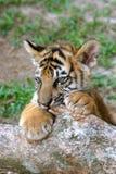 De welp van de tijger Royalty-vrije Stock Afbeelding