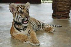 De Welp van de tijger Royalty-vrije Stock Foto