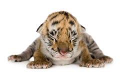 De welp van de tijger (4 dagen) royalty-vrije stock foto's