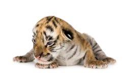 De welp van de tijger (4 dagen) stock fotografie