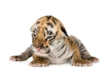 De welp van de tijger (4 dagen) stock foto's