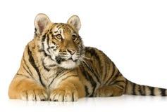 De welp van de tijger (5 maanden) Stock Foto