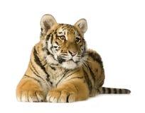 De welp van de tijger (5 maanden) stock foto's