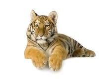 De welp van de tijger (5 maanden) stock fotografie
