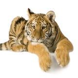 De welp van de tijger (5 maanden) royalty-vrije stock foto