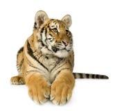 De welp van de tijger (5 maanden) Stock Afbeeldingen