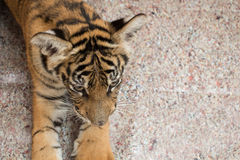 De welp van de tijger Stock Afbeeldingen
