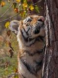 De welp van de tijger bij een boom Stock Foto's