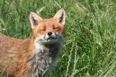 De welp van de vos met de zon op zijn gesloten gezicht en ogen Stock Foto's