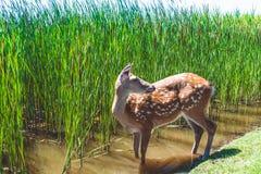 De welp van een hert loopt op een gazon dichtbij het meer en het riet De zomer, de Oekraïne royalty-vrije stock afbeeldingen