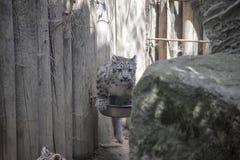 De welp van de sneeuwluipaard stock afbeeldingen