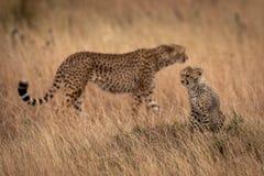 De welp zit in gras met erachter jachtluipaard royalty-vrije stock foto's