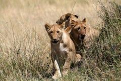 De welpen die van de leeuw door het gras lopen Royalty-vrije Stock Afbeeldingen
