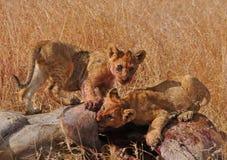 De welpen die van de leeuw vlees eten - Nationaal Park Serengeti Stock Afbeeldingen