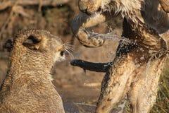 De welpen die van de leeuw in water spelen Stock Afbeelding