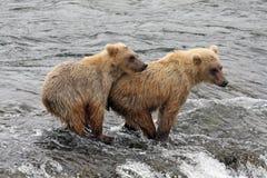 De Welpen van de grizzly Stock Afbeeldingen