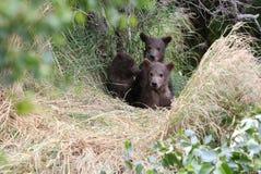 De welpen van de grizzlylente Royalty-vrije Stock Fotografie