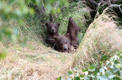 De welpen van de grizzlylente Royalty-vrije Stock Foto's