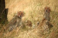 De welpen van de jachtluipaard in het gras Stock Foto's