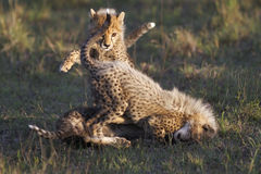 De welpen van de jachtluipaard het spelen Royalty-vrije Stock Afbeeldingen