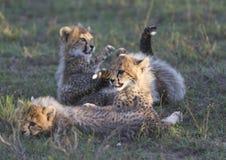 De welpen van de jachtluipaard het spelen Stock Foto's