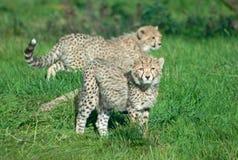 De welpen van de jachtluipaard op het gras Royalty-vrije Stock Foto