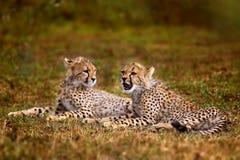 De welpen van de jachtluipaard, Serengeti Stock Foto's