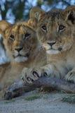 De Welpen van de leeuw Stock Foto's