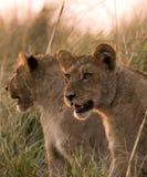 De welpen van de leeuw in chobe Royalty-vrije Stock Afbeeldingen