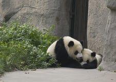 De Welpen van de panda Stock Afbeeldingen