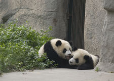 De Welpen van de panda Royalty-vrije Stock Foto's